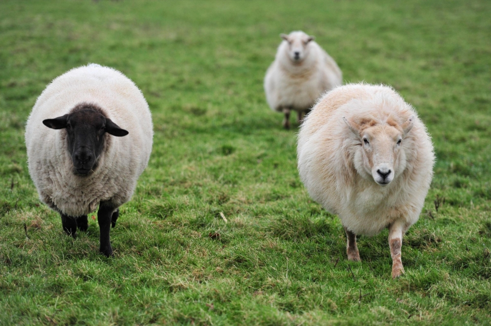 the-internet-of-sheep